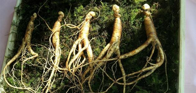 ماهو نبات الجنسنج