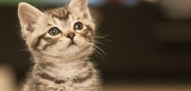 انواع القطط واشكالها حياتك