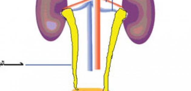 مكونات الجهاز البولي
