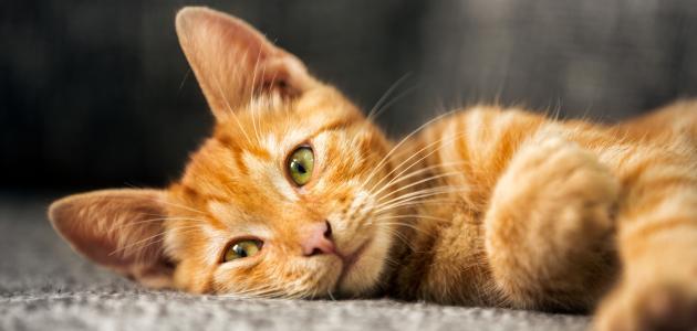 ما حكم بيع القطط