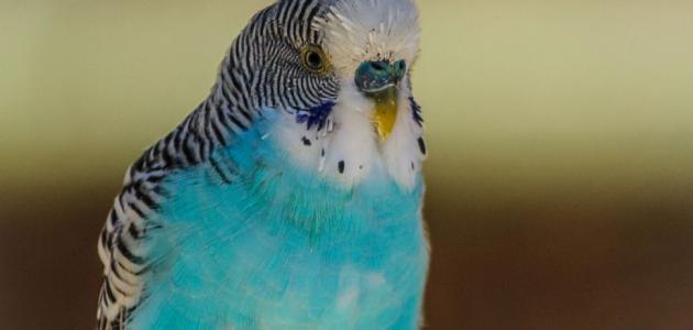 أفضل أنواع طيور البادجي