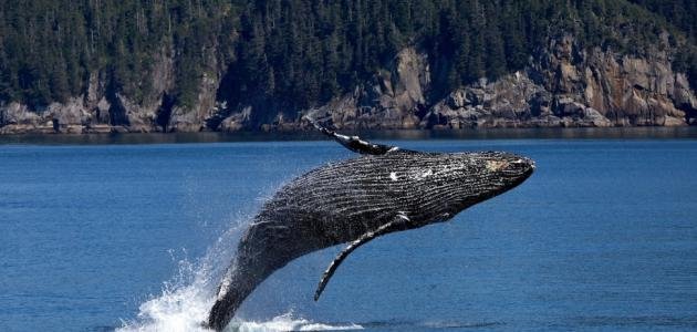 كم عدد ضربات قلب الحوت