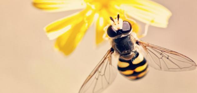 كم عدد أرجل النحلة