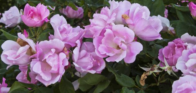 كيف نحافظ على الورد من الذبول