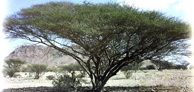 تعريف نبات السمر