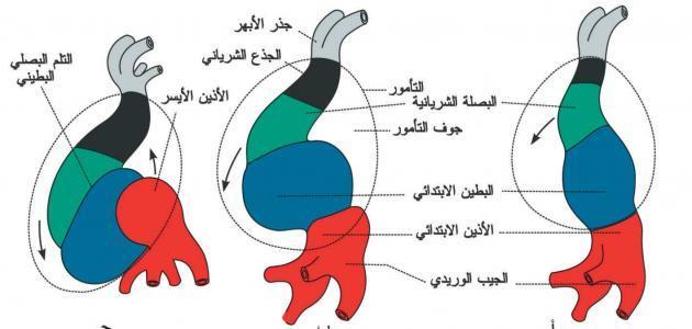 مراحل الدورة القلبية